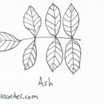 The Graphic Recorder - Visual Vocabulary - Tree Leaves of Oregon - Ash