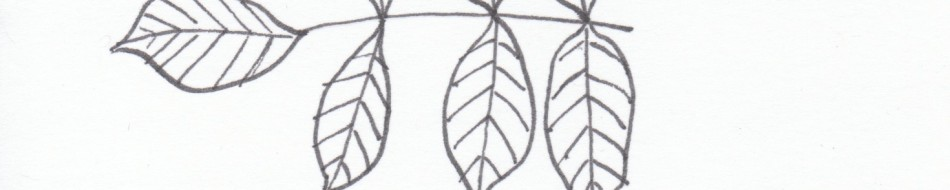 Simple Sketches of Tree Leaves of Oregon