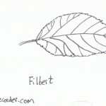 The Graphic Recorder - Visual Vocabulary - Tree Leaves of Oregon - Filbert